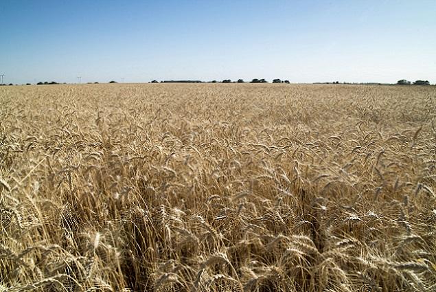 Cosecha de trigo Las Flores