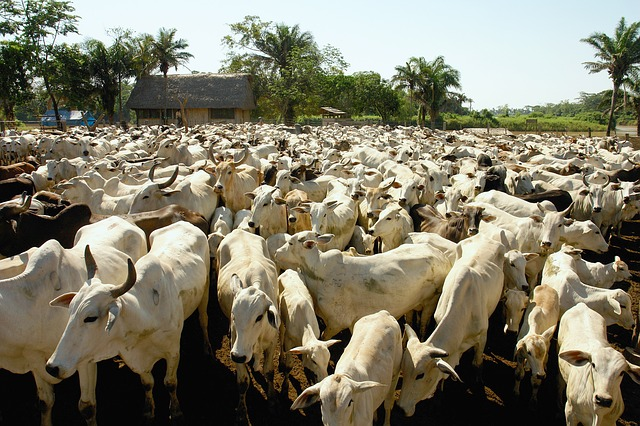 Amazon Crossing Livestock Holiday Cows Bolivia