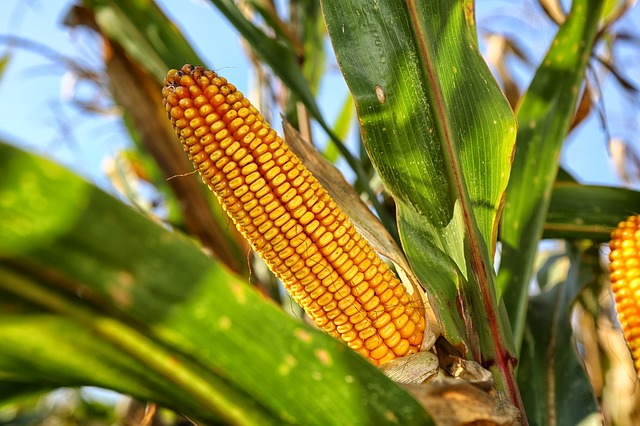 corn-on-the-cob-2083529_640